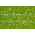 C57BL/6-GFP Mouse Primary Brain Microvascular Endothelial Cells