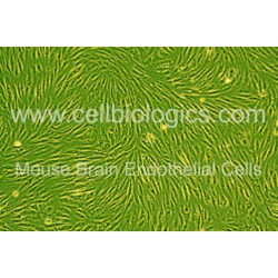 C57BL/6 Mouse Primary Brain Microvascular Endothelial Cells