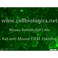 B129 Mouse Primary Kidney Endothelial Cells