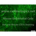 C57BL/6-GFP Mouse Primary Lung Microvascular Endothelial Cells