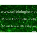 CD1 Mouse Primary Intestinal Mesenteric Endothelial Cells