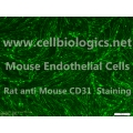 CD1 Mouse Primary Kidney Endothelial Cells