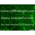 BALB/c Mouse Primary Kidney Glomerular Endothelial Cells