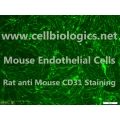 BALB/c Mouse Primary Pulmonary Vein Endothelial Cells