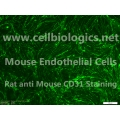 C57BL/6 Mouse Embryonic Kidney Endothelial Cells