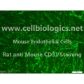 CD1 Mouse Primary Bladder Microvascular Endothelial Cells